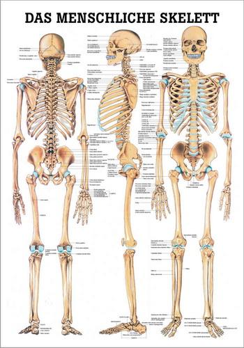 Tilia - Physioshop | Lehrtafel Das Menschliche Skelett | online kaufen